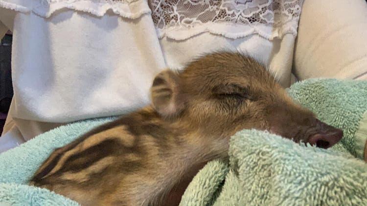 Wildschweinchen Josie verbrachte einen Tag im Tierlignadenhof, dann wurde es abgeholt, um getötet zu werden. (zvg)