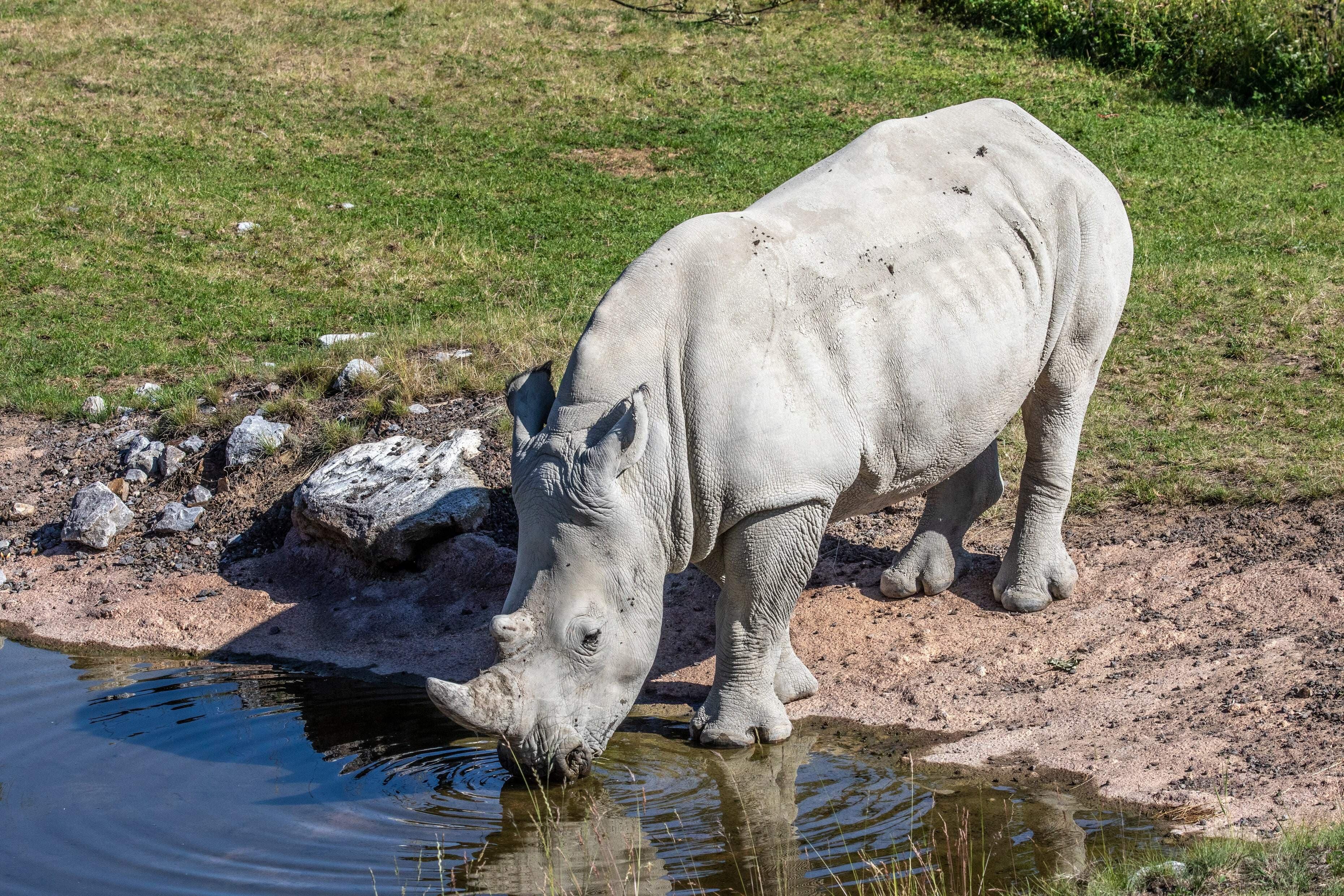 Rami gehört zu der Rasse der Breitmaulnashörner. Seit 2019 lebt er in der Lewa-Savanne im Zoo Zürich.