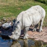 Nashornbulle Rami verlässt Zoo Zürich in Richtung Italien