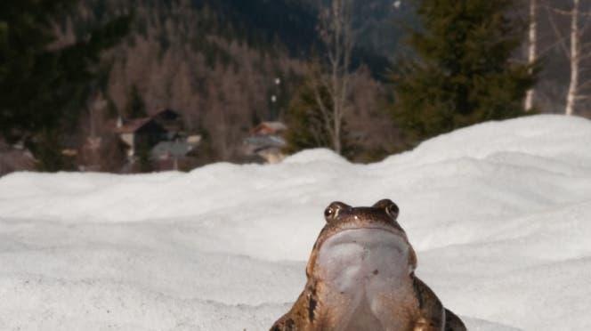 Amphibien wie der Grasfrosch sind kaum in höhere Lagen gewandert. (WSL/Anne Delestrade)