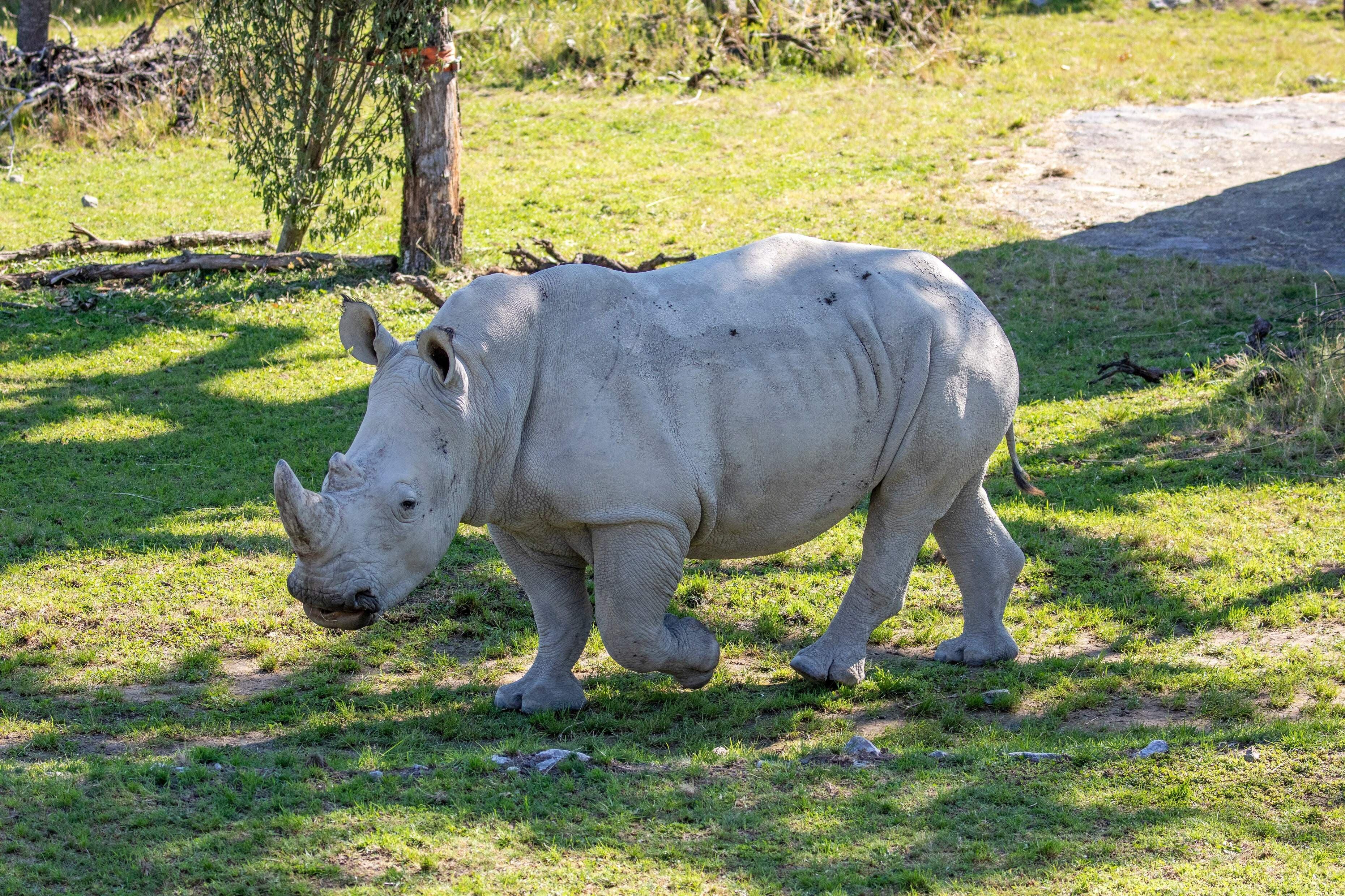 Da Rami mit allen weiblichen Nashörner im Zoo Zürich einen Vater teilt, wird er nun nach Turin in Italien gebracht. Mit dem Umzug von Rami kann eine gesunde Genetik innerhalb des Europäischen Erhaltungszuchtprogrammes (EEP) gewährleistet werden.
