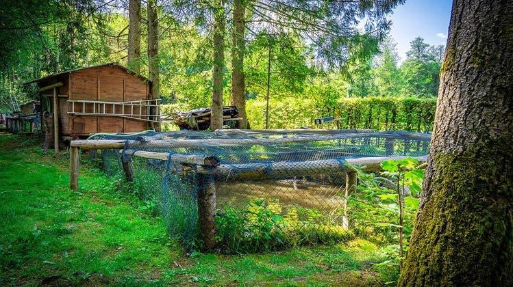 Die Fischzucht des Hunzenschwiler Gasthofs Kastanienbaum in Schafisheim (Zvg)