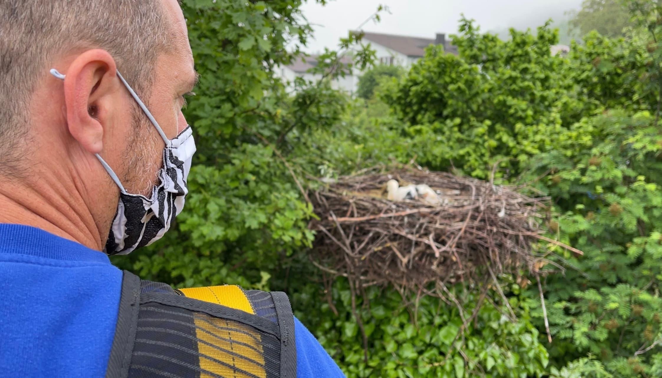 «Anflug» auf den Horst. Die Elterntiere sind weggeflogen, kehren aber sofort zurück, sobald die Leiter mit dem Tierpfleger wieder weg ist.