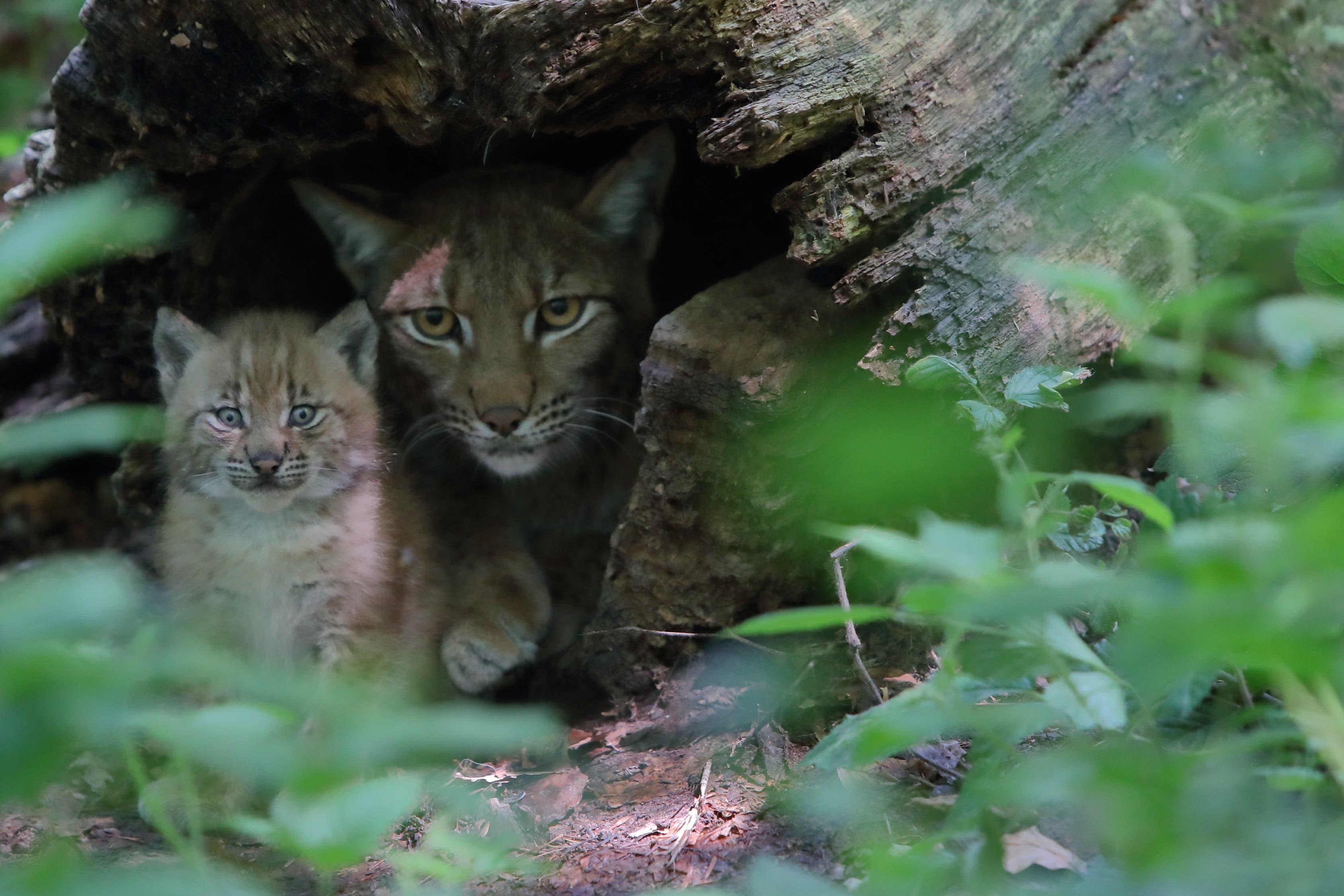 Mittlerweile haben die beiden Jungtiere die Augen geöffnet und fangen an, die Anlage zu erkunden.