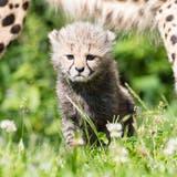 Nachwuchs im Zolli: Zwei Geparden-Babys tollen durchs Gehege