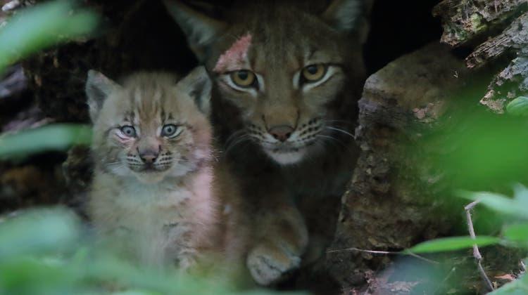 Luchs-Nachwuchs im Wildnispark Langenberg