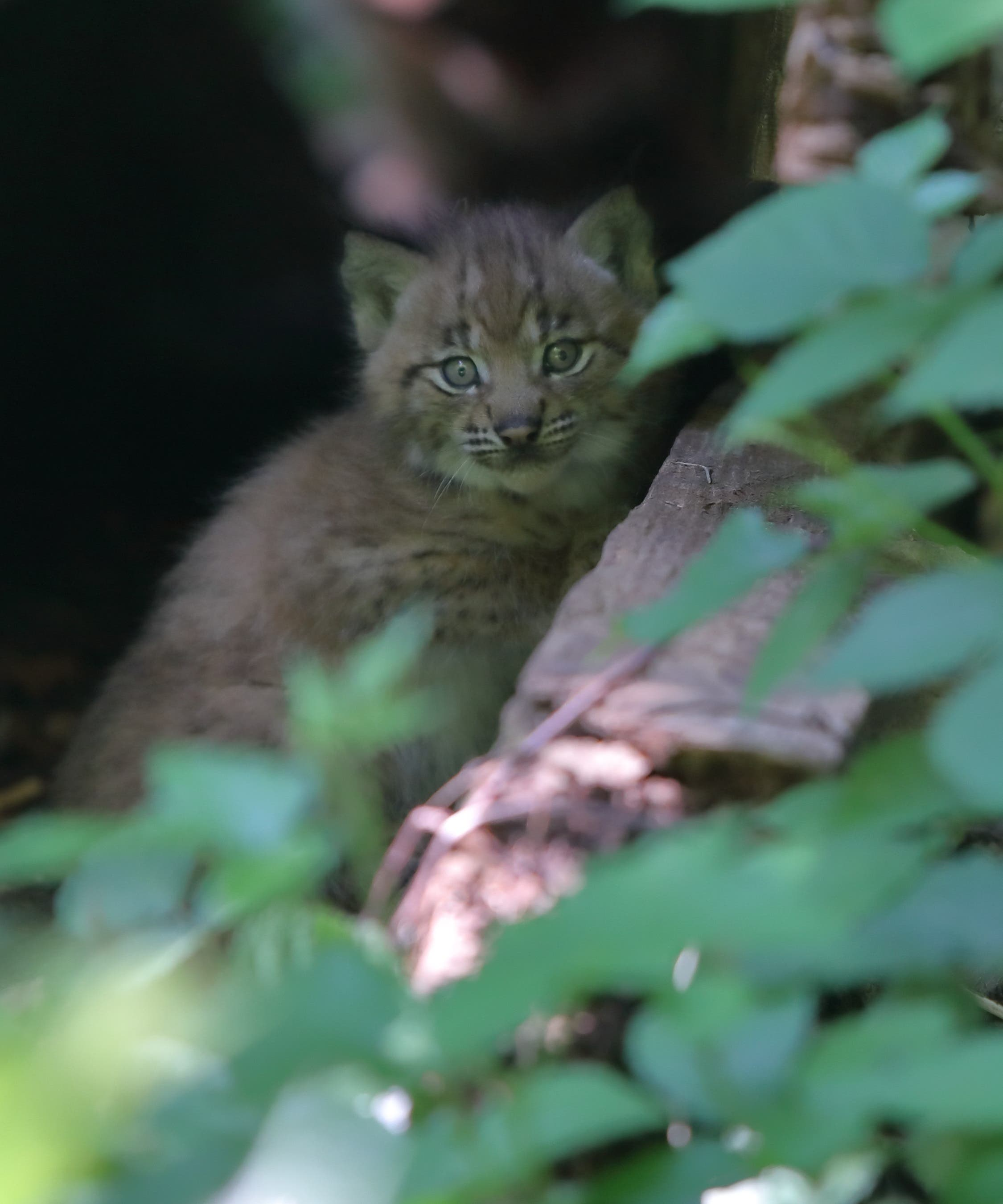 Bei vielen Tierarten sind jetzt Jungtiere zu beobachten. Speziell erfreulich: Nach 10 Jahren sind im Wildnispark Zürich wieder einmal junge Luchse zur Welt gekommen – dank einem neuen Luchspaar.