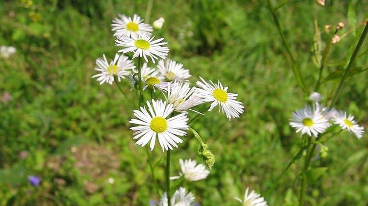 Sieht aus wie ein Gänseblümchen, doch der hohe Blütenstand mit mehreren Blüten zeigt, dass es sich um das Einjährige Berufkraut handelt. (Bild: PD)