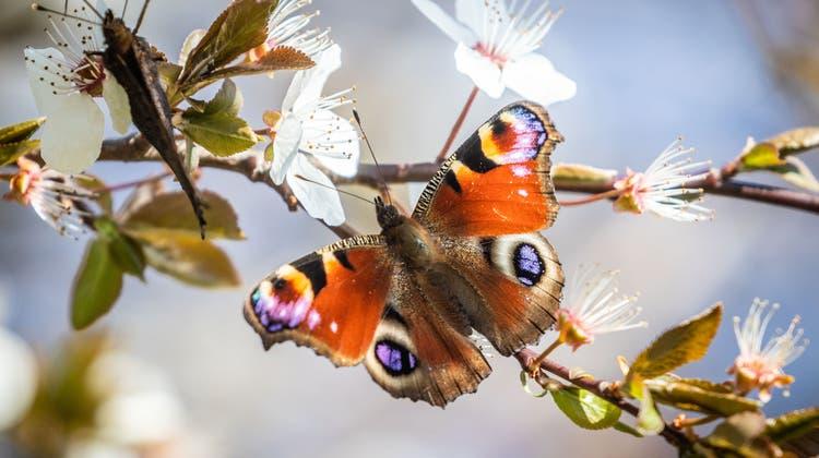 Stickstoff gefährdet die Artenvielfalt der Schmetterlinge. (Keystone)