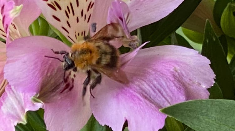 Biene auf Nahrungssuche (Brigitte Weber)