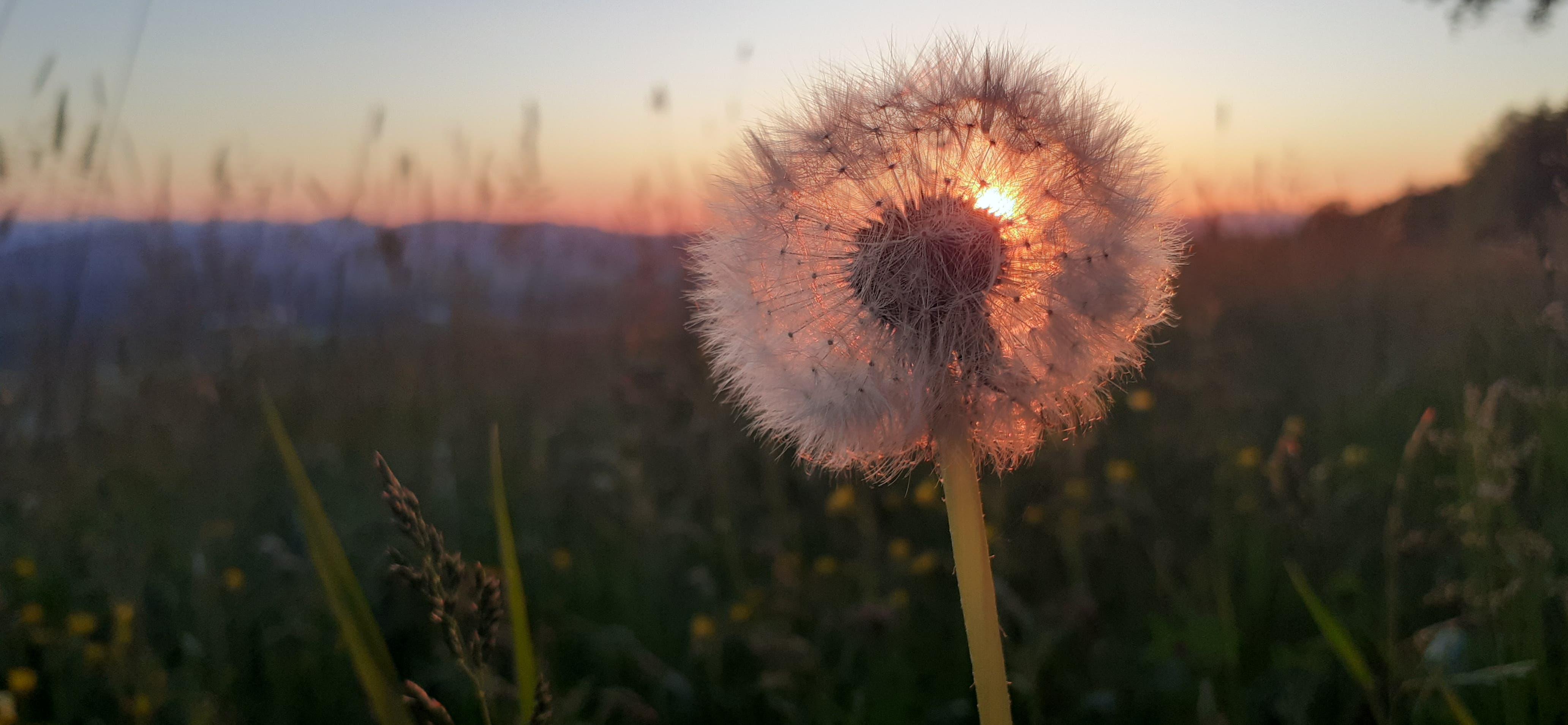 Aargauer Sonnenuntergang durch die Pusteblume, Foto von Petra Hoffmann