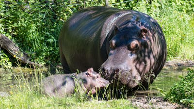 Bei sommerlichen Temperaturen machten Mutter und Tochter ihren ersten gemeinsamen Ausflug auf die Aussenanlage. (Bild: zvg/Zoo Basel (Torben Weber))