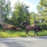 Ausgebüxt: Vier Pferde gerieten auf dieRheintalautobahn. (Bild: Getty)