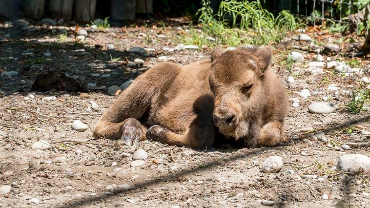 Baldus heisst der ein Monate alter Wisent im Tierpark Lange Erlen. (Nicole Nars-Zimmer)