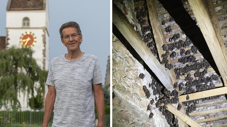 Im Dachstock der reformierten Kirche Veltheim leben über 1000Grosse Mausohren. Die weiblichen Fledermäuse ziehen hier ihre Jungen auf. (Bild: Alex Spichale)