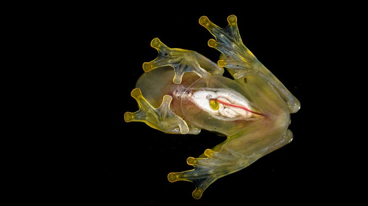 Transparent: der Glasfrosch. (Rudolf Hug)