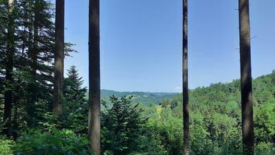 Vom Eschenholz aus schweift der Blick zwischen säulenartigen Stämmen in den Thurgau. (Bild: Pablo Rohner)