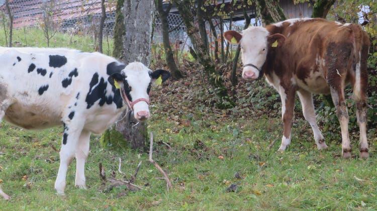 In Berikon schwelte ein Streit um die Kuhglocken im Oberdorf. (Marc Ribolla (28. Oktober 2020))