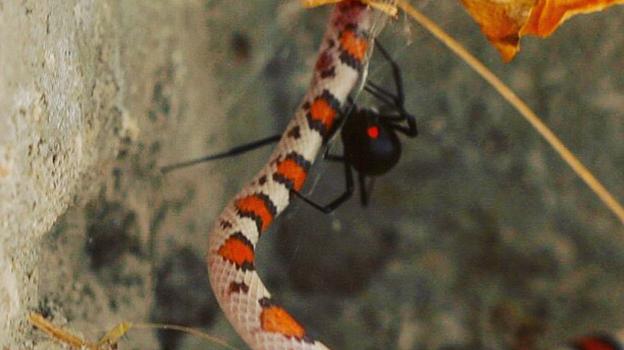 Diese Scharlachnatter wurde von einer Schwarzen Witwe in Florida gefangen und getötet. (Trisha Haas)