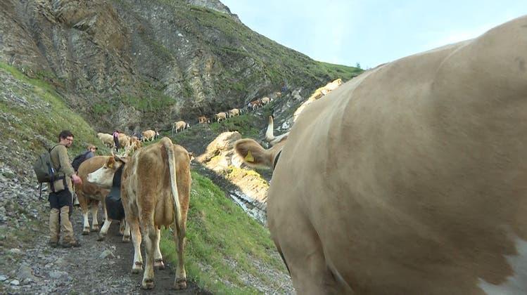 Steil und spektakulär: 500 Kühe wandern auf die Engstligenalp