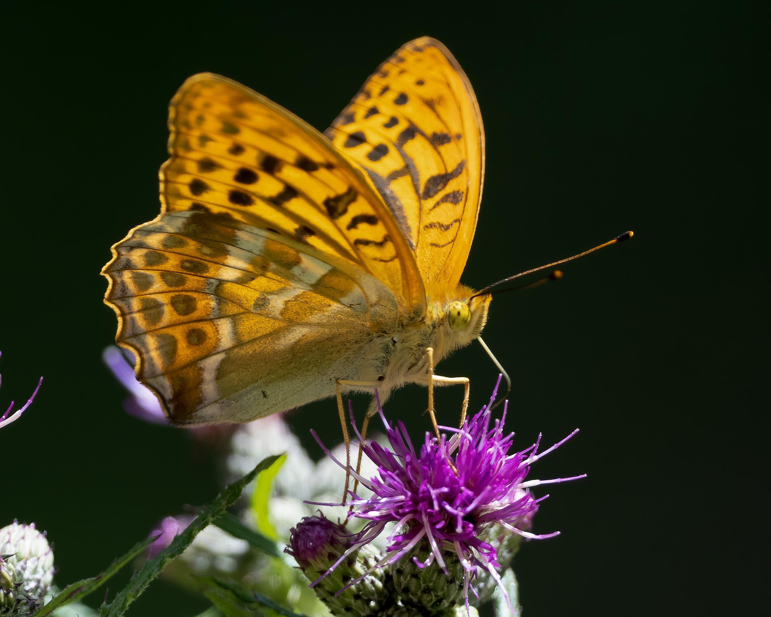 Kaisermantel Schmetterling. Er ist der grösste mitteleuropäische Perlmutterfalter.