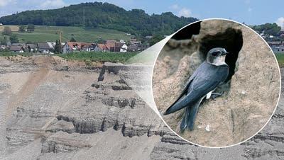 Die Uferschwalbe braucht den idealen Sand, um ihre Bruthöhle bauen zu können. (zvg)