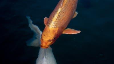 Selbstdarstellung können nicht nur Menschen sondern auch Fische. Die zwei machen zumindest mal eine solide Pose. (Bild: Samantha Zaugg)