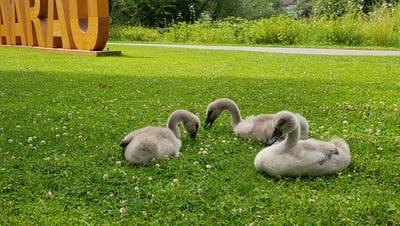 Drei der neun properen Jungschwäne beim Grasen bei der Schwanbar. (Nadja Rohner)