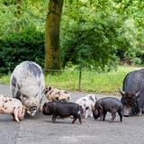 Die Schweinchenfamilie auf dem Weg in die Aussenanlage. (Zoo Basel)