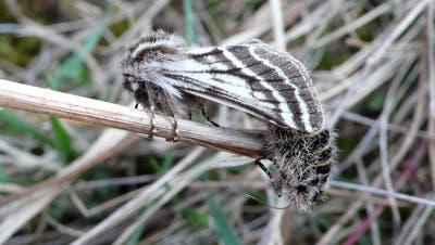 Das pelzige Weibchen (rechts) unter dem Flügel des Männchens. (Bilder: zvg)