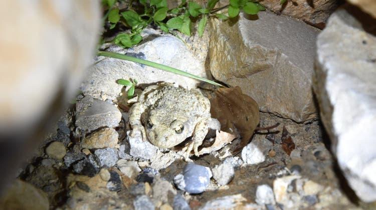 Ein Glögglifrosch, der sich zwischen Steinen versteckt. (Ida Krinn)