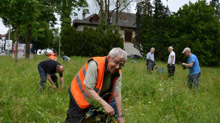 Peter Fluri, Co-Präsident des Naturfördervereins Solothurn, zieht ein Neophyt aus dem Boden. (Christina Varveris)
