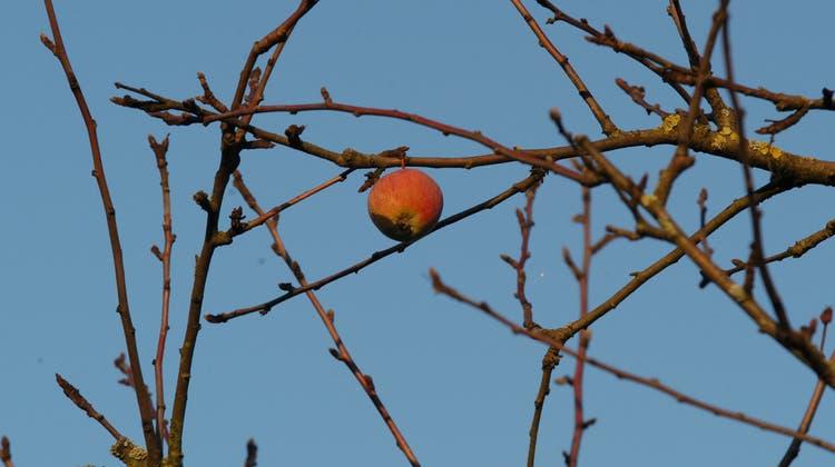 War wohl gar kein Apfel: Die Frucht vom Baum der Erkenntnis. (bz-Archiv)