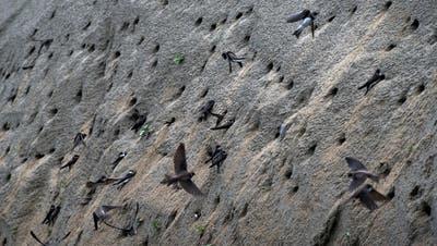 Die Uferschwalben haben die künstlich angelegte Brutwand in Beschlag genommen und graben fleissig Brutröhren. (Hansjörg Sahli)