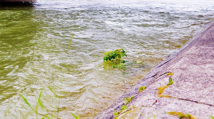 Der Rhein führt viel Wasser, die Strömung ist stärker. (Nicole Nars-Zimmer niz)