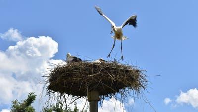 Die Jungstörche flattern über ihren Horsten und üben so das Fliegen – bei starkem Wind kann das durchaus gefährlich werden. (Nadine Böni (18. Juni 2020))