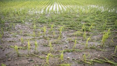 Das Gewitter von Dienstagnacht hat seine Spuren hinterlassen: Ein zerstörtes Maisfeld in Rümlang ZH. (Ennio Leanza / KEYSTONE (13. Juli 2021))
