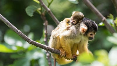 Die kleinen Totenkopfäffchen klammern sich am Rücken der Mutter fest. (Zoo Basel)