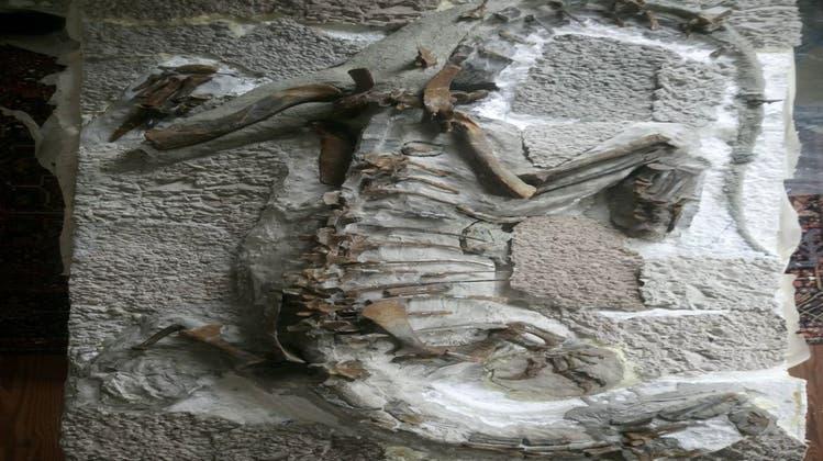Zwei Plateosaurus-Teilskelette wie dieses aus Frick reisten als Leihgabe nach Münchehagen. (zvg)