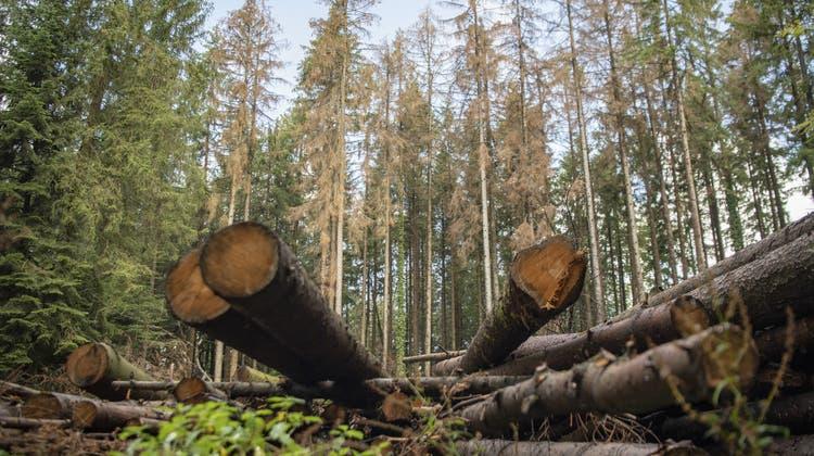 Die Schweizer Forstwirtschaft hat 2020 mehr Holz gefällt als 2019. (Keystone)