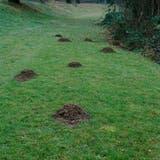 Ziemlich eigenwillig: Maulwürfe bauen ihre Hügel auch wo es ihnen grad passt. (Bild: Samantha Zaugg)