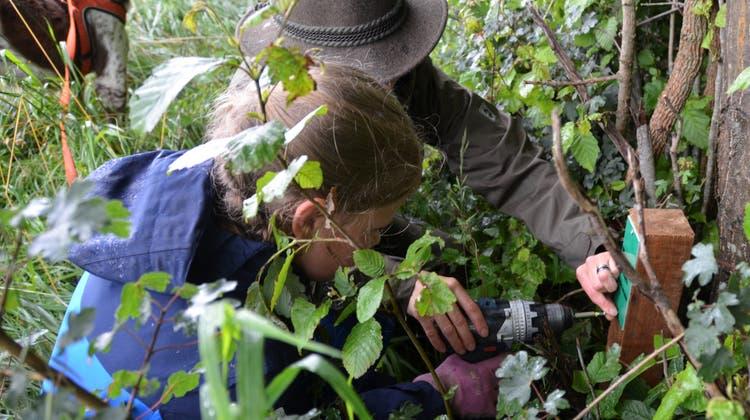 Mit Hilfe eines Erwachsenen schraubt dieses Mädchen ein Informationstäfelchen an einen Baum. (Bild: MargrithPfister-Kübler)