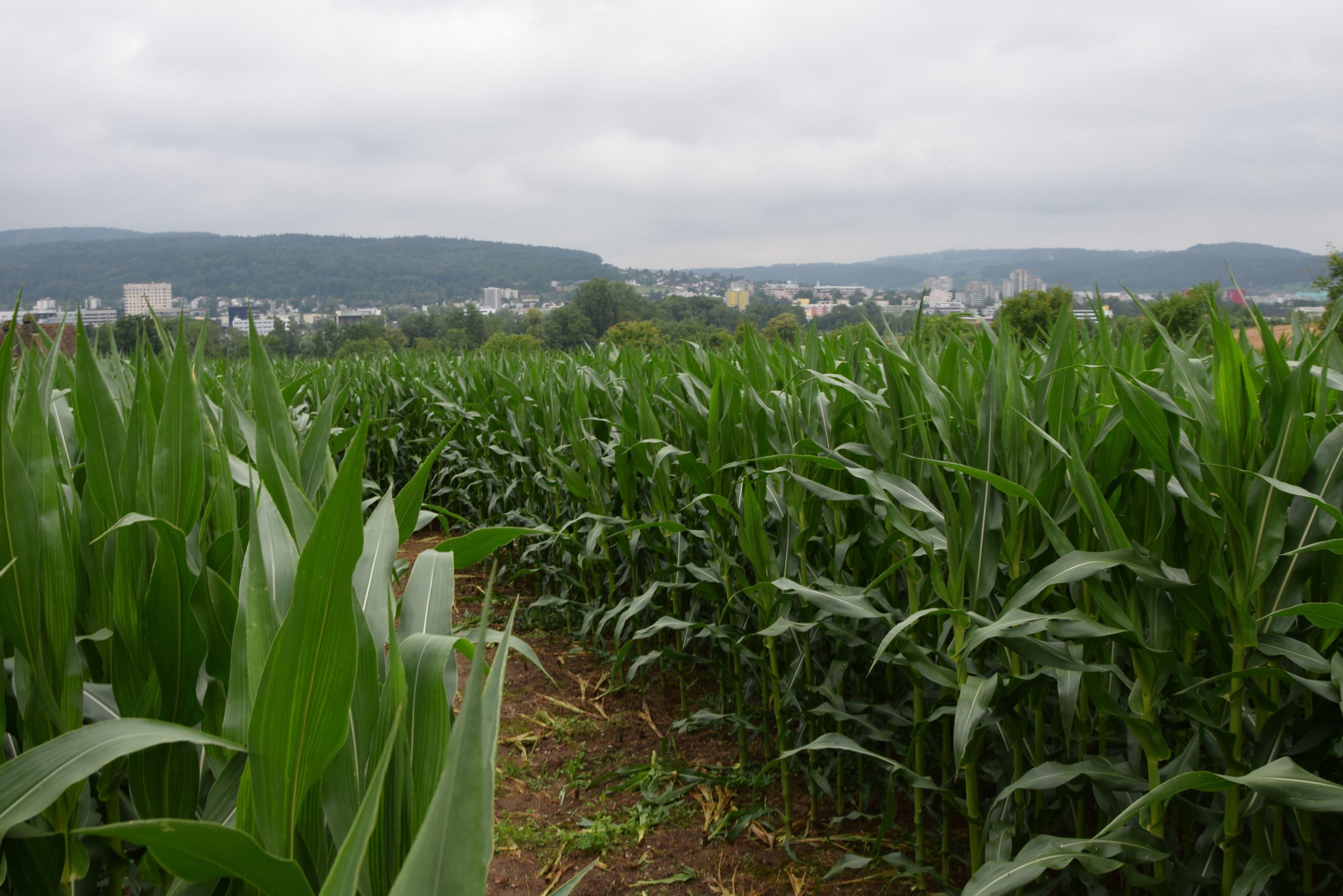 Beim Kloster Fahr gibt es neuerdings ein Maislabyrinth, ...