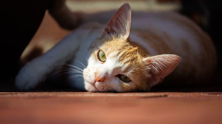 Katzen und Rhesusaffen sind besonders anfällig für das Coronavirus. (Symbolbild) (Keystone)