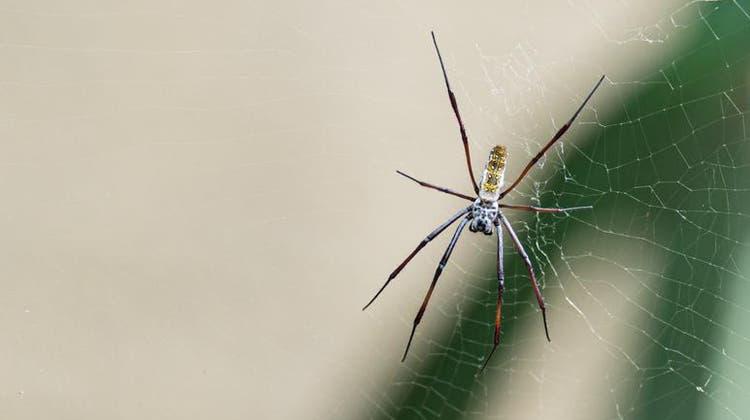 Kreisrunde Spinnennetze weben die Radnetzspinnen im Etoschahaus. (Niz / BLZ)