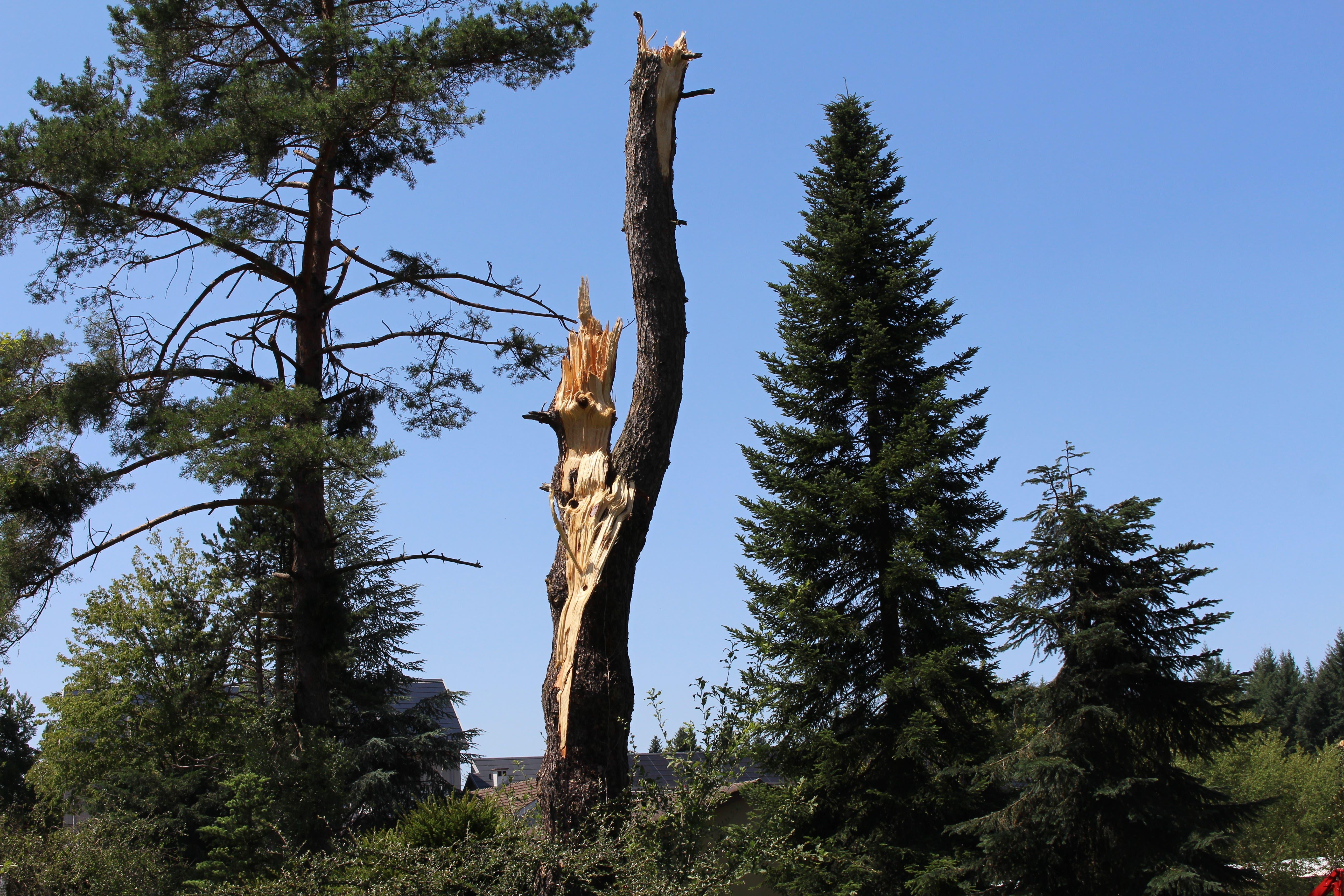 Dieser Baum steht direkt vor der Eidgenössischen Forschungsanstalt für Wald, Schnee und Landschaft (WSL) in Birmensdorf. Hier wurden die Bäume besonders hart vom Sturm getroffen.
