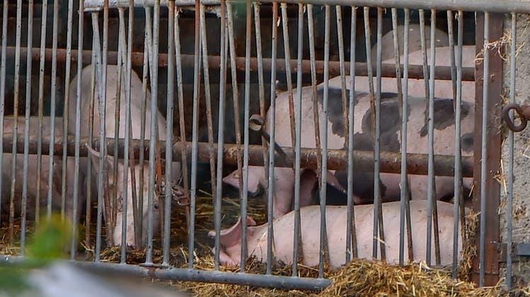 Hausschweine können sich zum Beispiel durch Kontakt mit infizierten Wildschweinen anstecken. (Keystone)