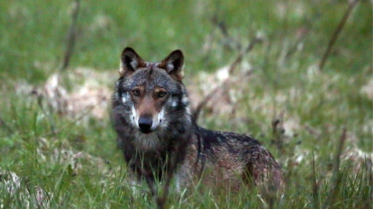 Wolf unter Druck: Das Parlament hat die Voraussetzungen gelockert, unter denen ein Wolf abgeschossen werden darf. (Keystone)