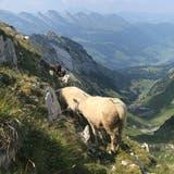 Im Gebiet der Roslenalp sind vier Schafe von mutmasslich einem Wolf gerissen worden. (Bild: Corinne Hanselmann)