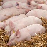 Würde man Nutztiere von ihren Aufgaben befreien, würden sie in grossem Mass verschwinden. (Bild: Keystone)
